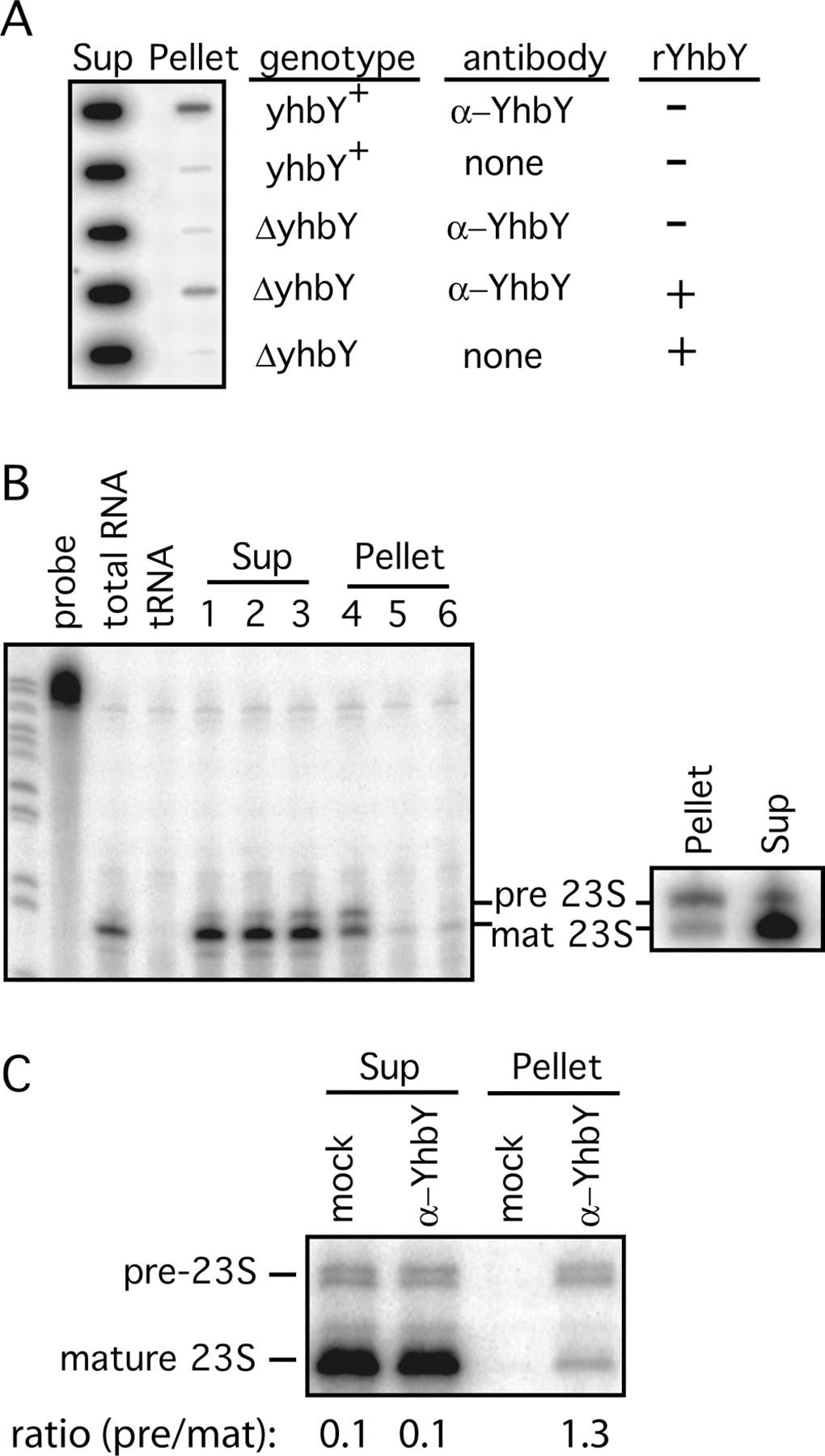 The CRM domain: An RNA binding module derived from an ...